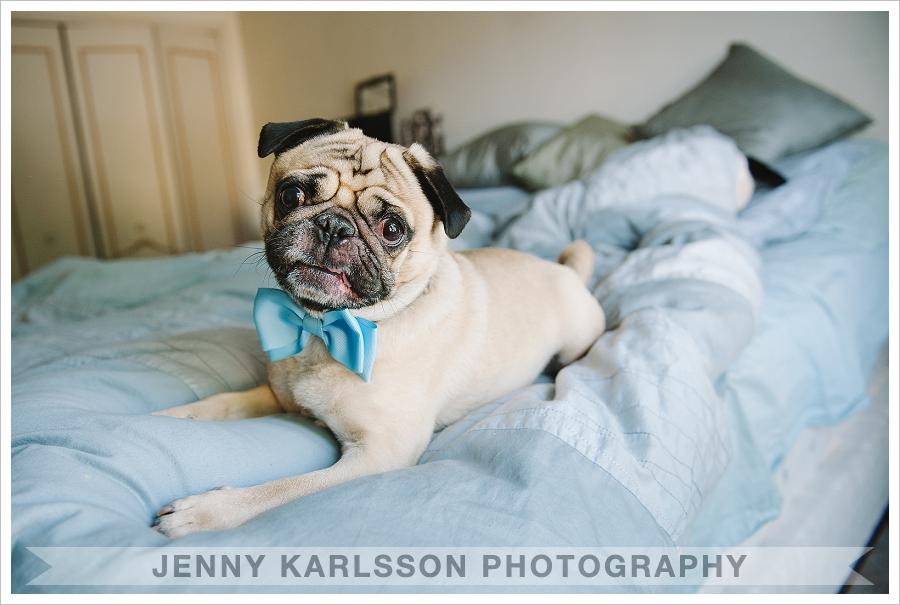 Pug - Pittsburgh pet photographer