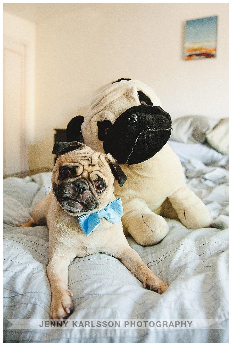 Pug and stuffed pug toy - Pittsburgh pet photographer