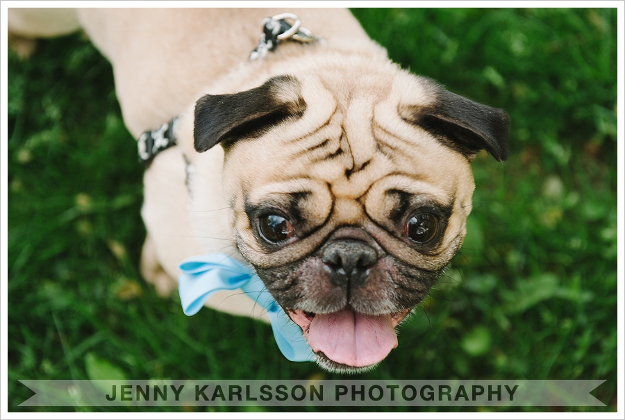 Pug in Mellon Park - Pittsburgh Pet Photographer