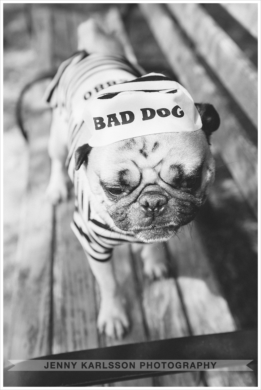 Pug in bad dog outfit - Pittsburgh dog photographer