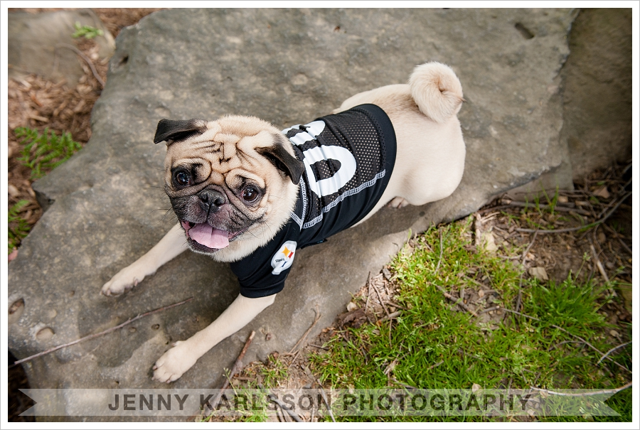 Pug in Pittsburgh Steelers jersey