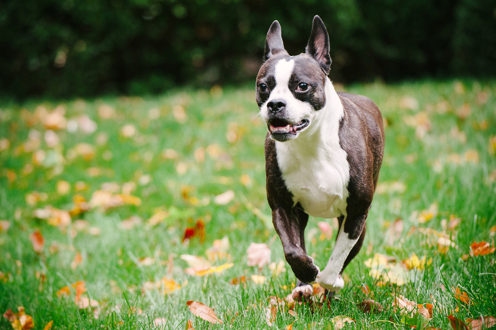 dog-photography-pittsburgh-boston-terrier-domino-004.jpg