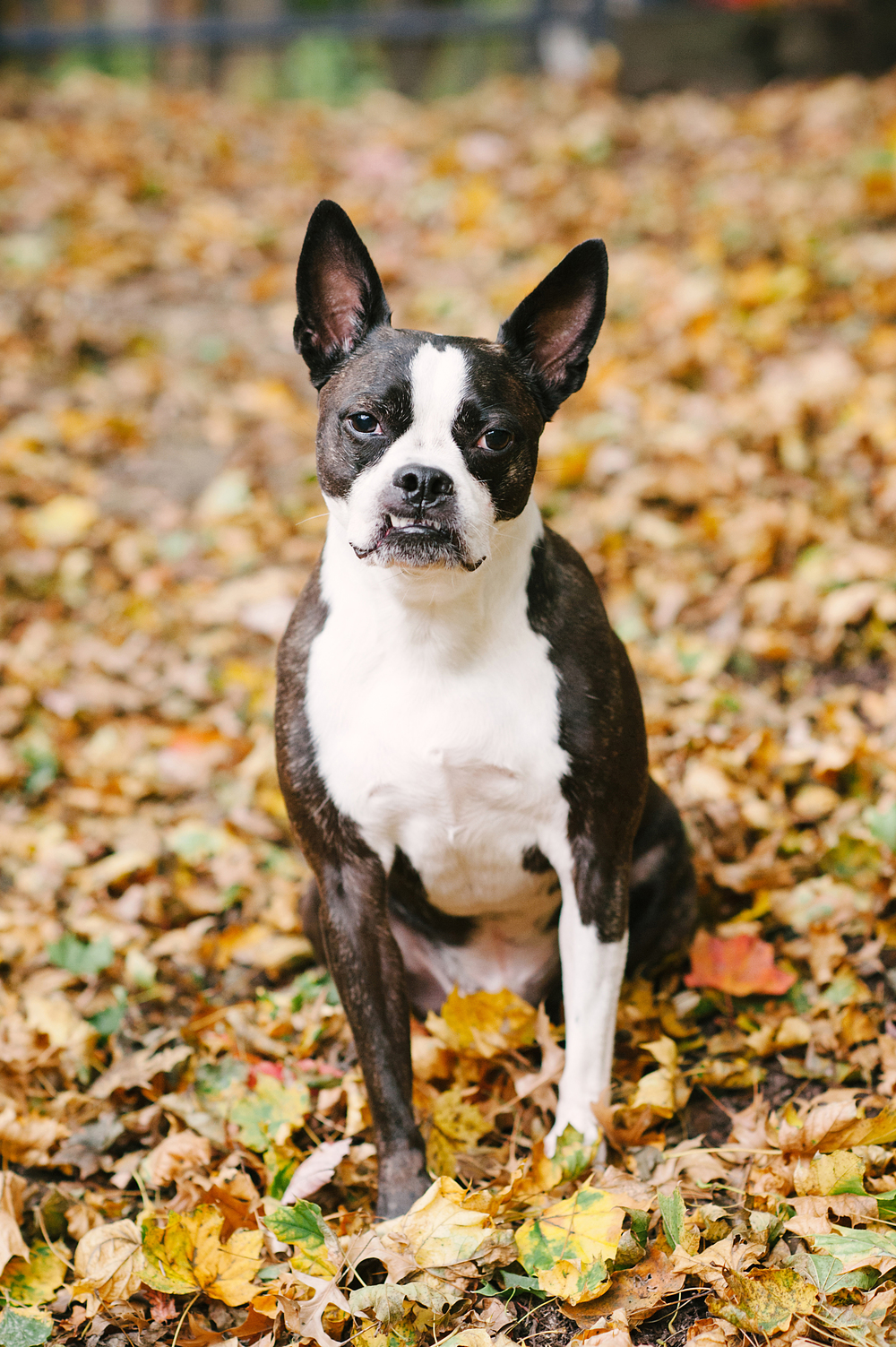 dog-photography-pittsburgh-boston-terrier-domino-017.jpg