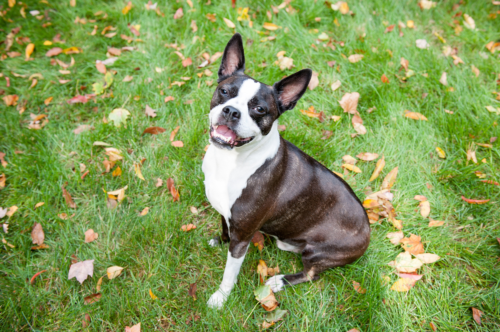 dog-photography-pittsburgh-boston-terrier-domino-026.jpg