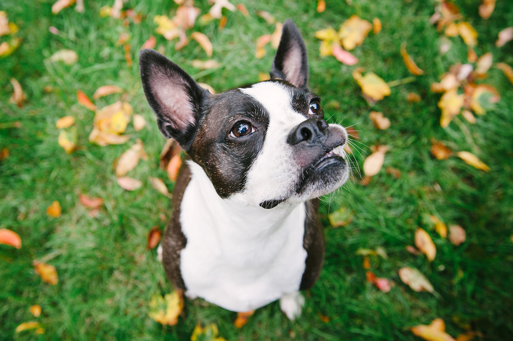 dog-photography-pittsburgh-boston-terrier-domino-033.jpg
