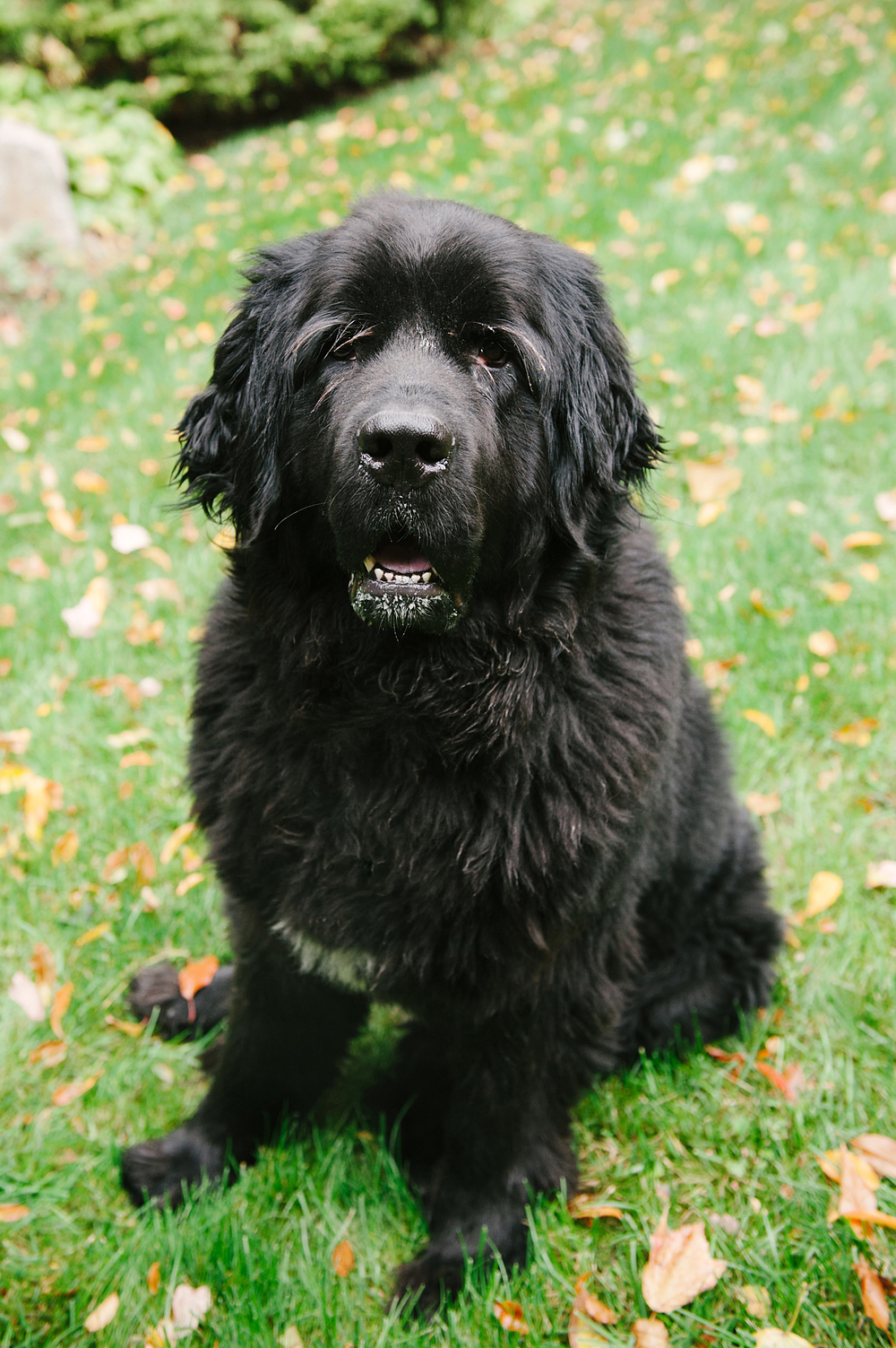 newfoundland-dog-photography-pittsburgh-olaf001.jpg