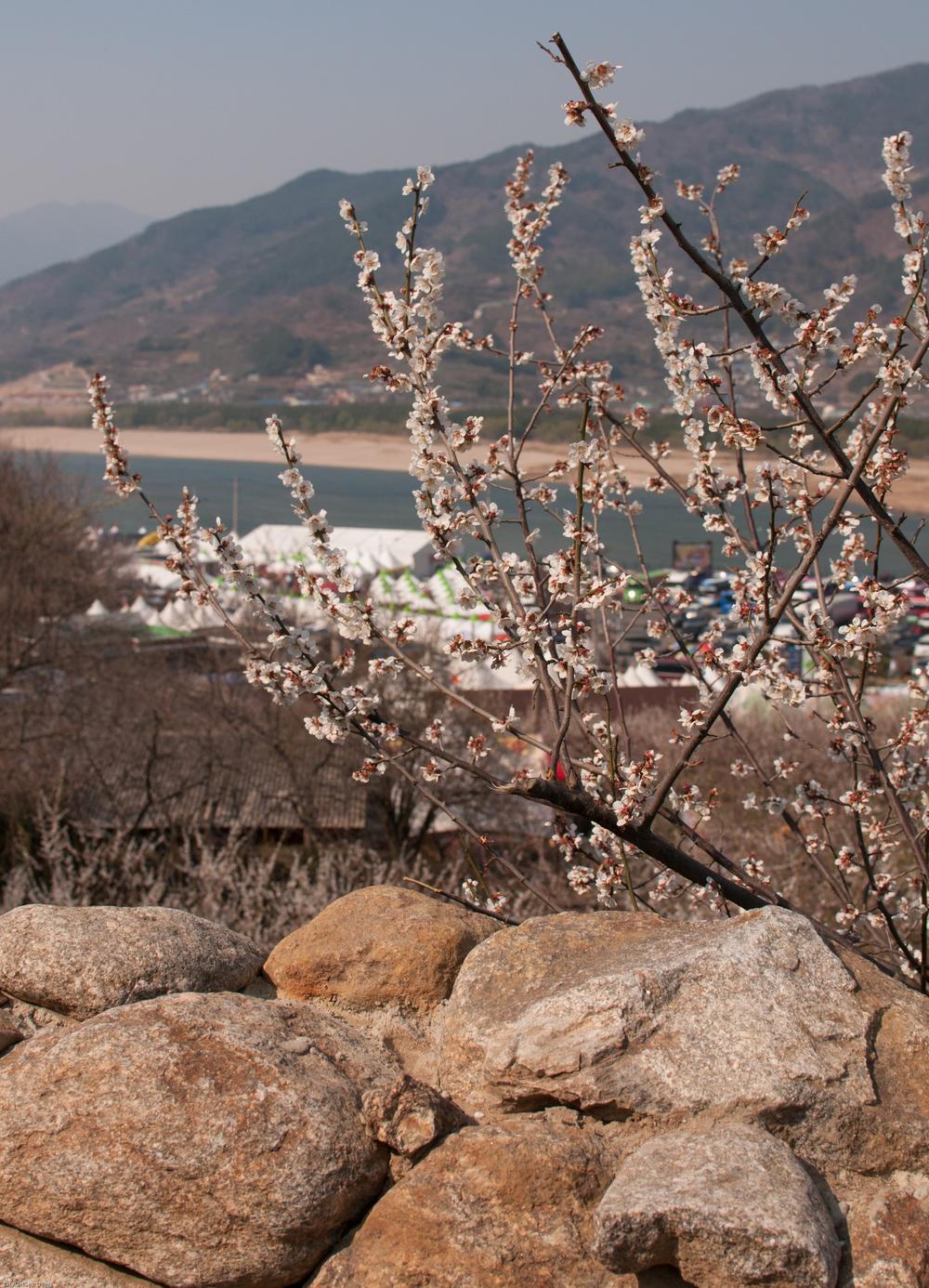 SouthKoreaCherryBlossomsMaewhaFestivalCityGirlSearching (11 of 22).jpg