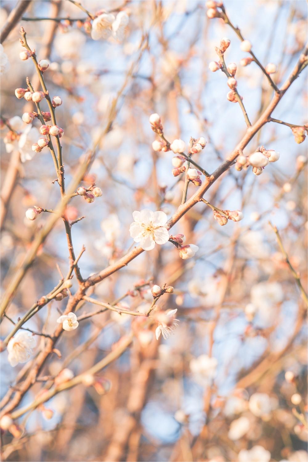 SpringBlossomsInSouthKorea_0020.jpg