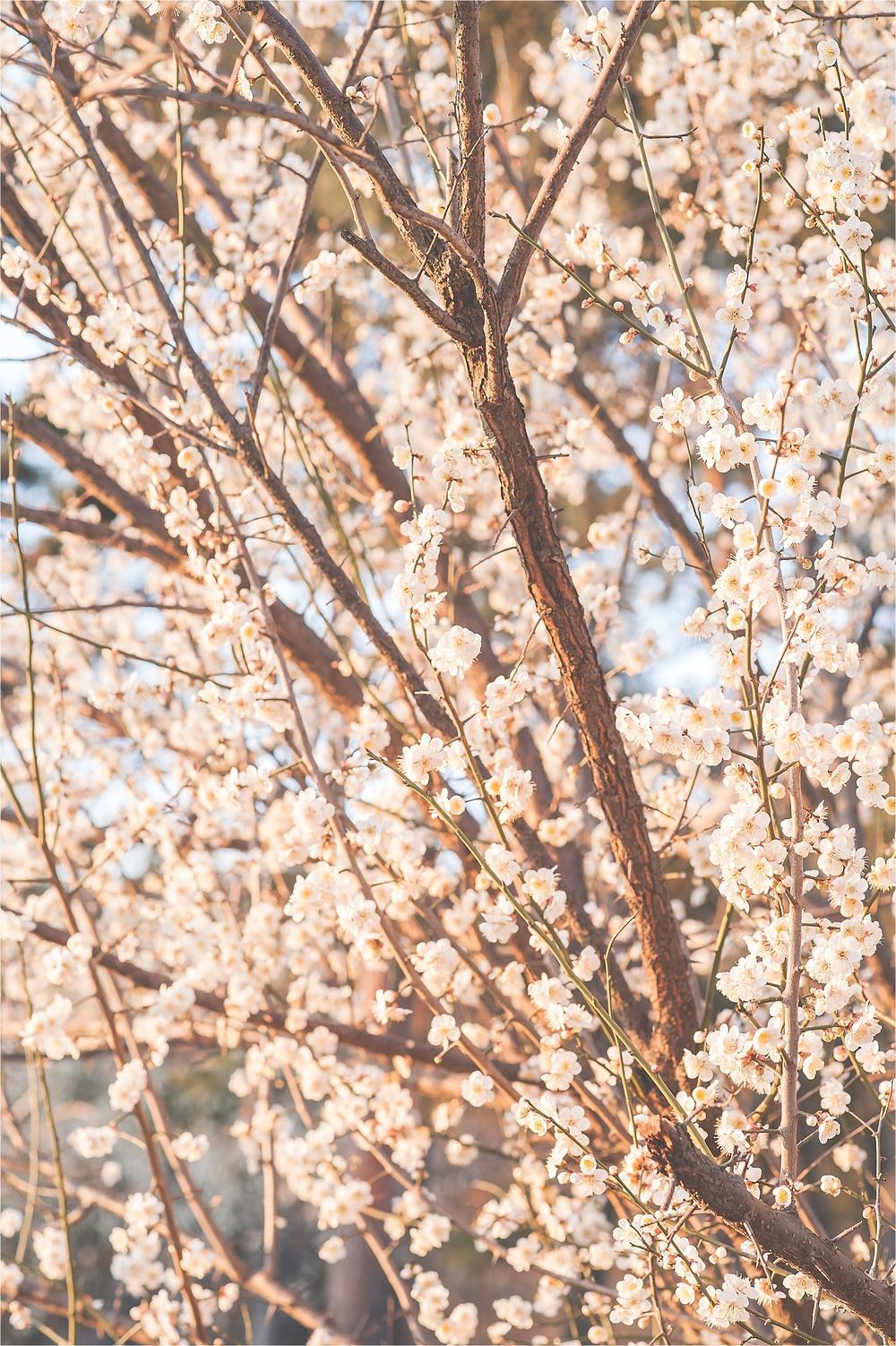 SpringBlossomsInSouthKorea_0021.jpg