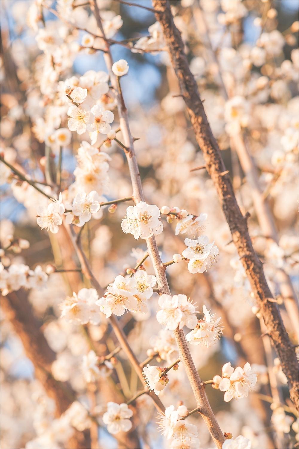 SpringBlossomsInSouthKorea_0022.jpg