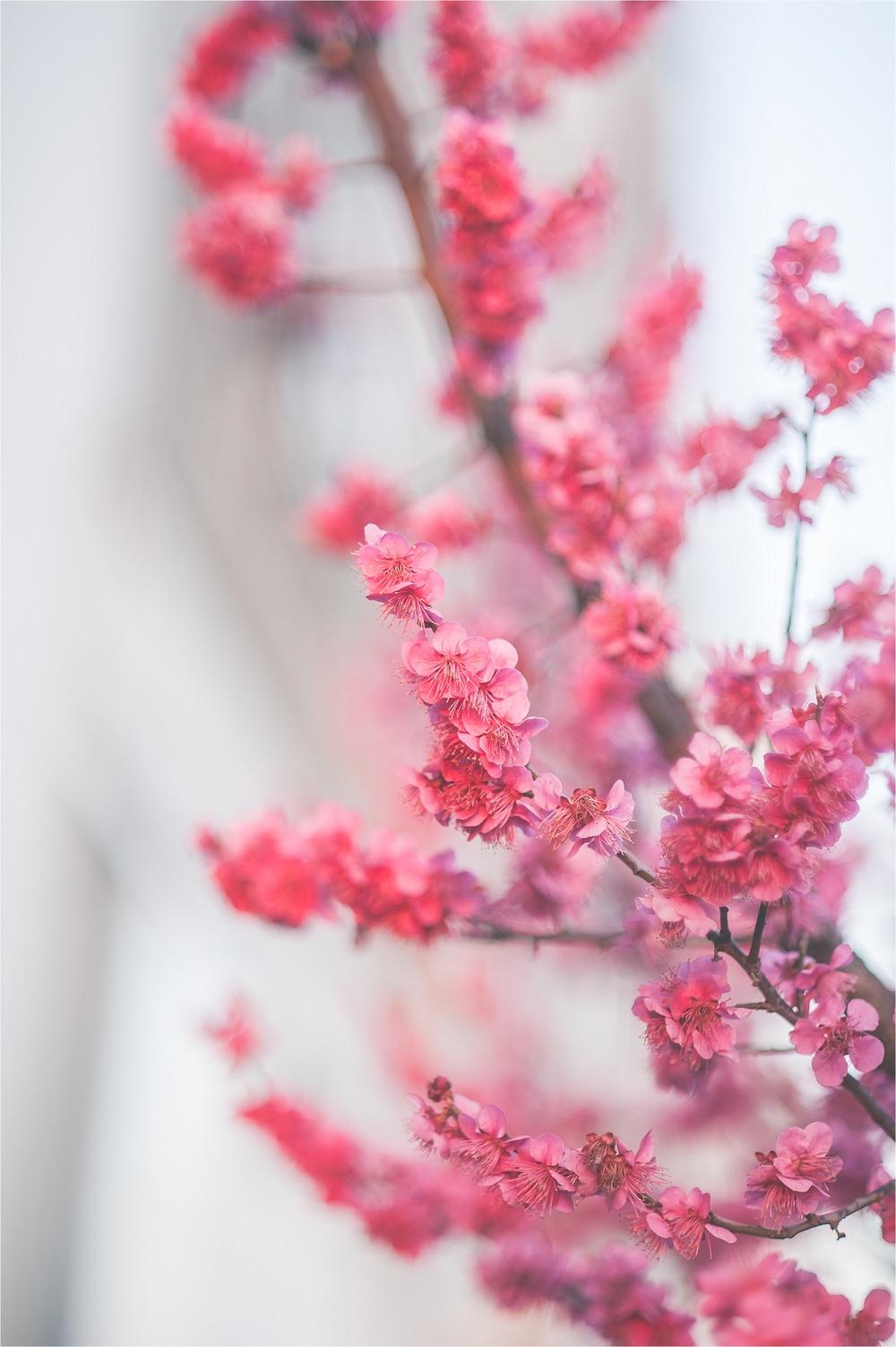 SpringBlossomsInSouthKorea_0034.jpg