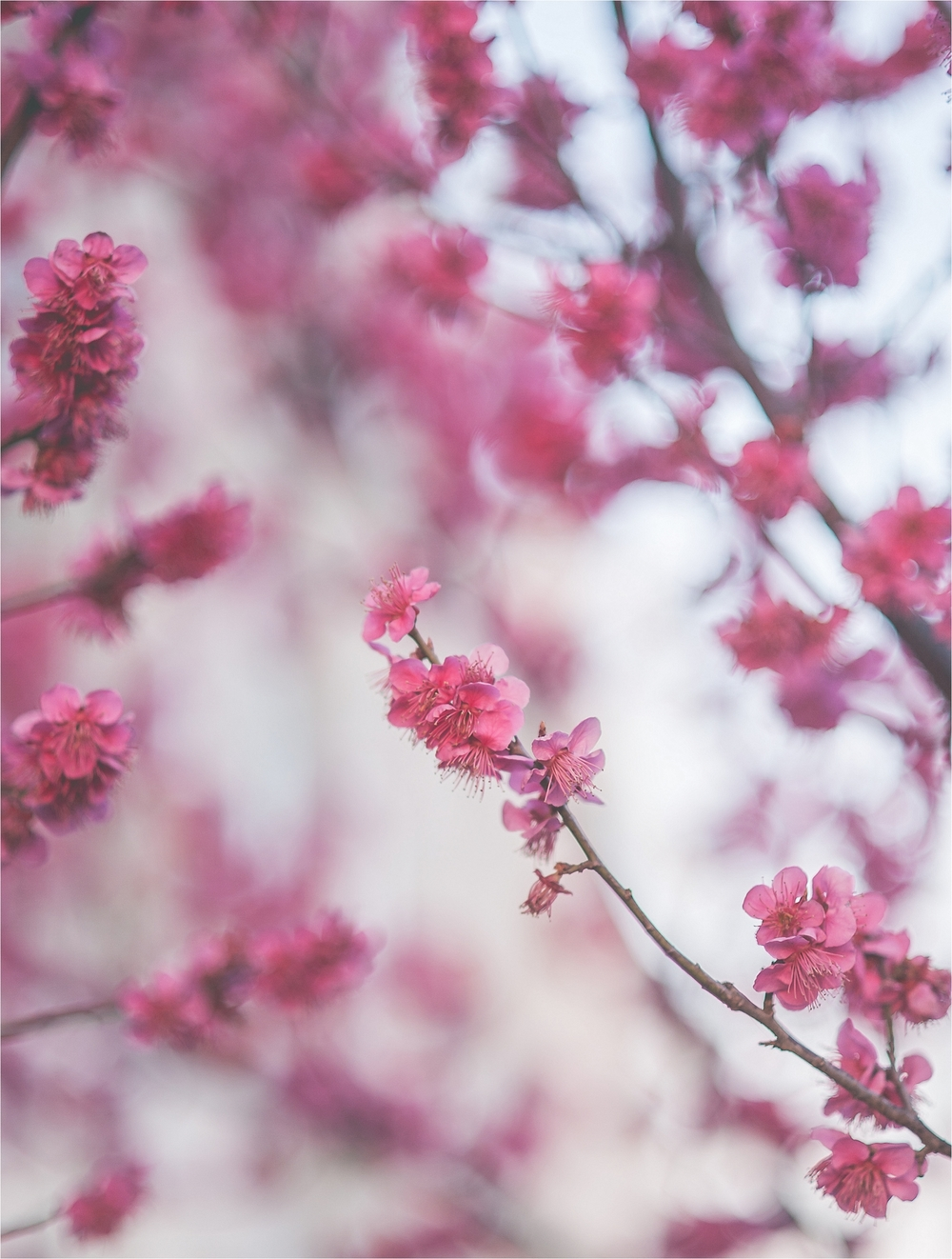 SpringBlossomsInSouthKorea_0036.jpg