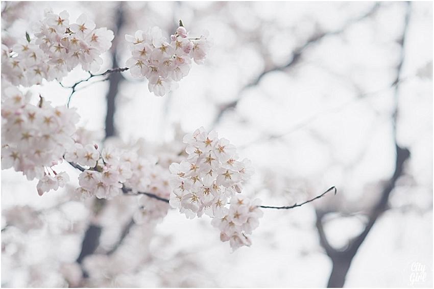 CherryBlossomsinSouthKorea_0074.jpg