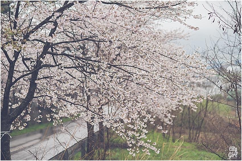 CherryBlossomsinSouthKorea_0079.jpg