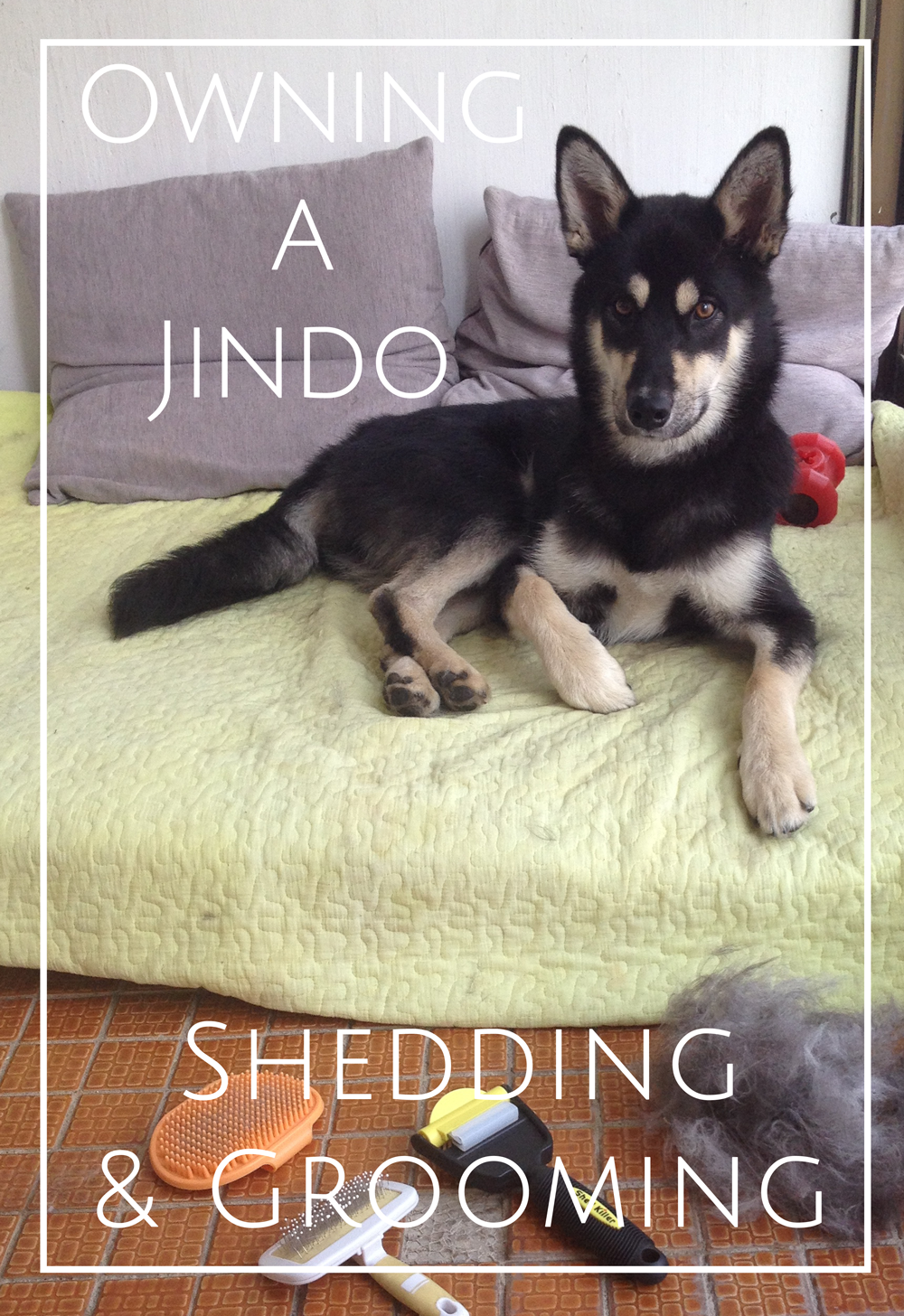 KoreanJindoSheddingGrooming
