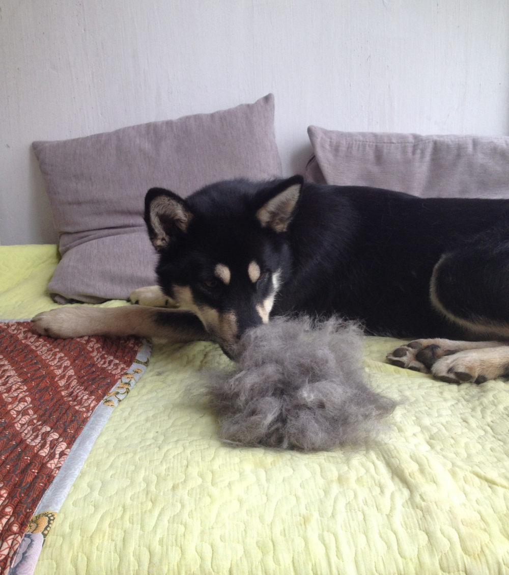 Shedding Jindo How To Groom double coated dog