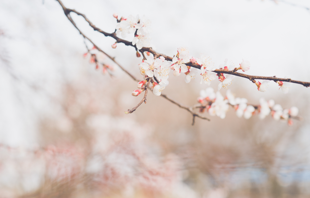 Cherry Blossoms in Korea