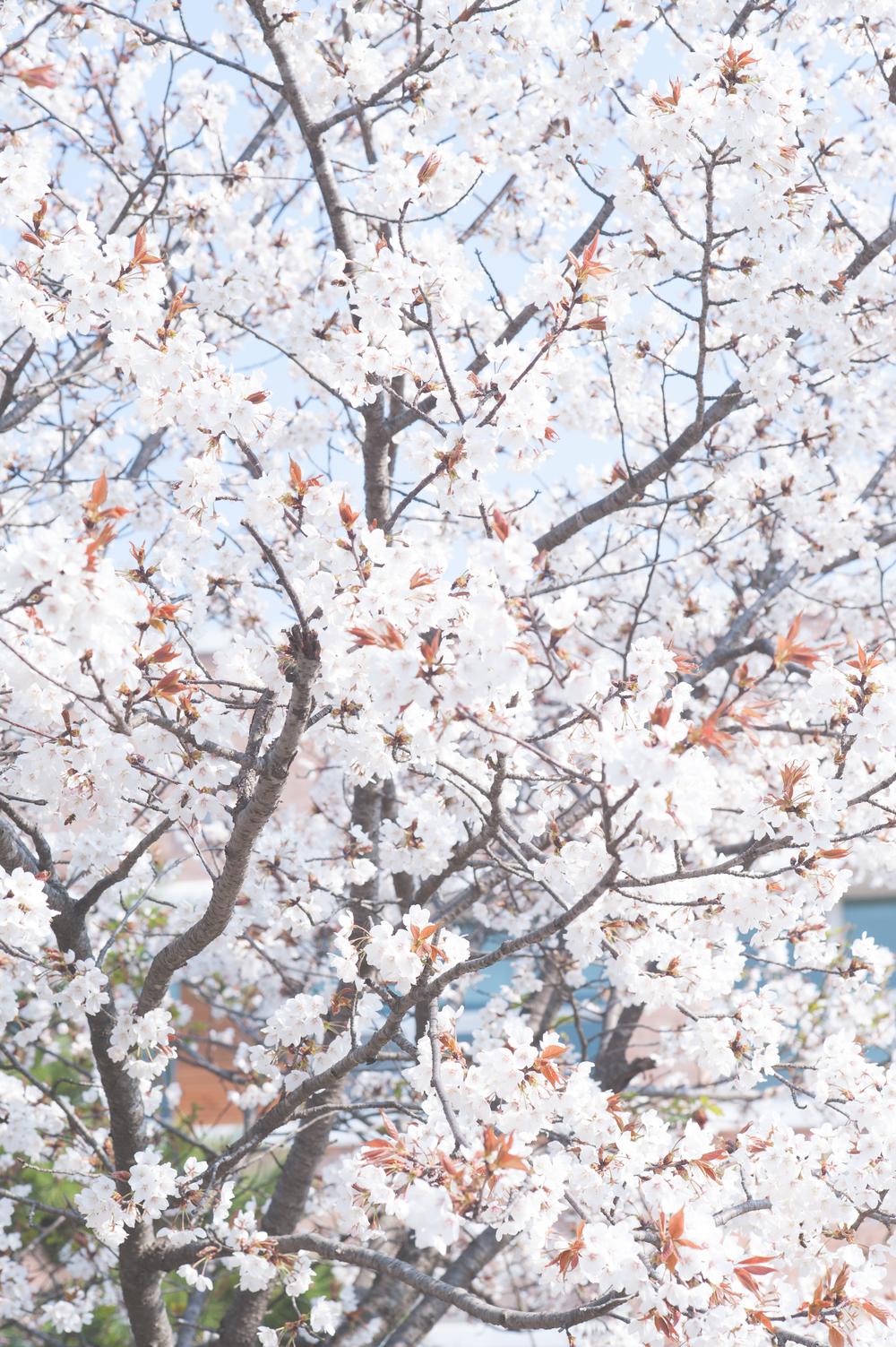 CherryBlossomStyledShootKoreaAlyshaCGSPhotography (1 of 57).jpg