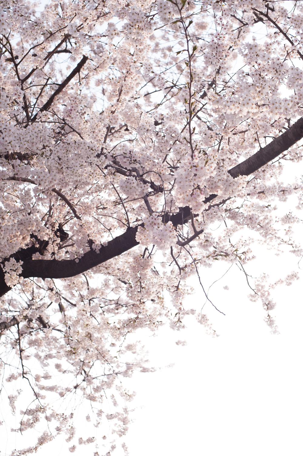 CherryBlossomsSouthKorea (1 of 5).jpg