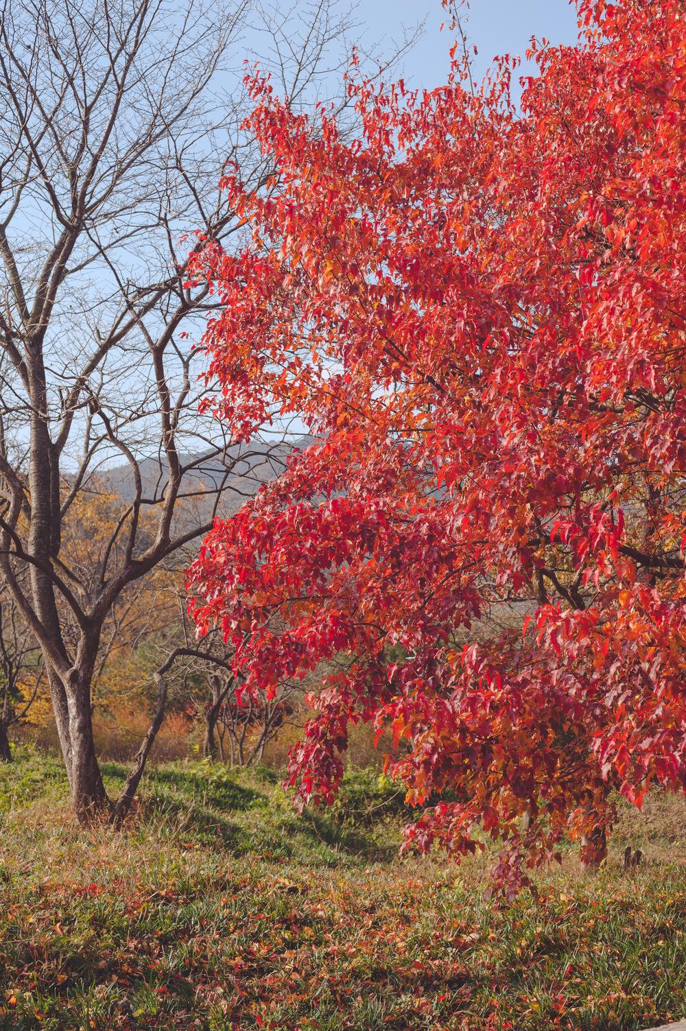 AutumnInKoreaSoenunsaParkFallLeaves (27 of 37).jpg