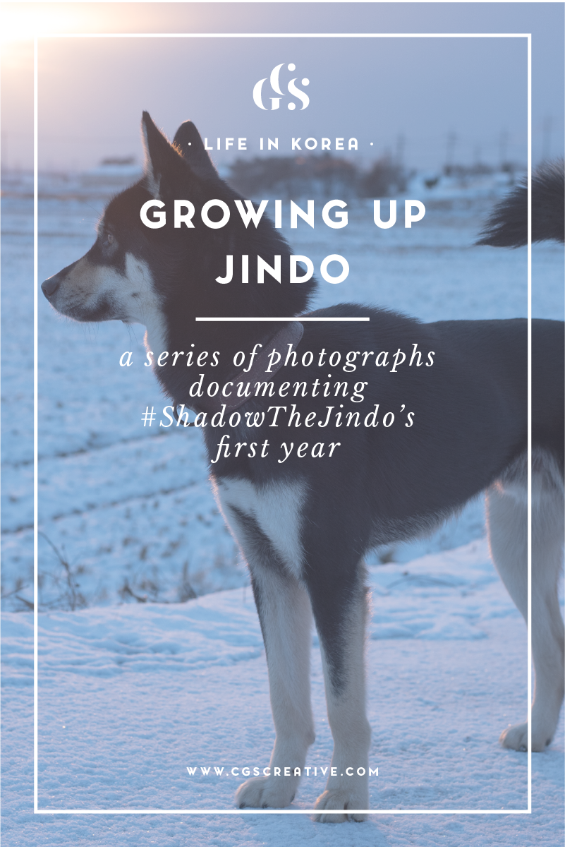 ShadowTheJindo Korean Black Tan Jindo