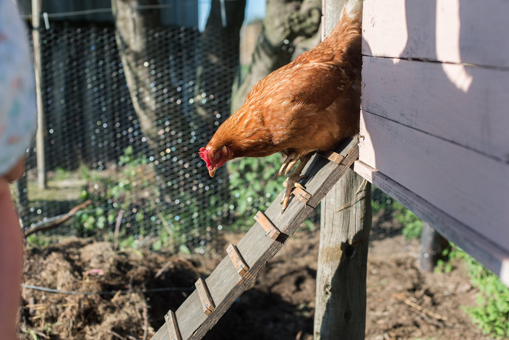 Farmboy CityGirl Pink Chicken Coop Chicken House DIY (11 of 28).jpg