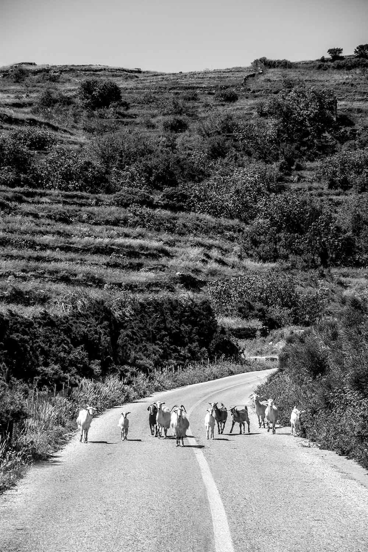 Goats in Tinos Photo by Dimitris Karaiskos.jpg