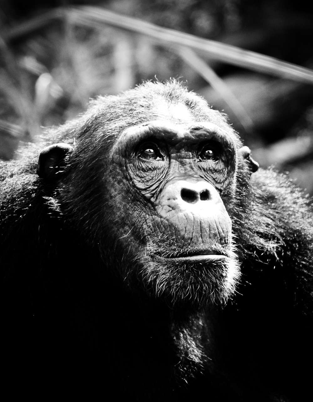 chimp-9803.jpg
