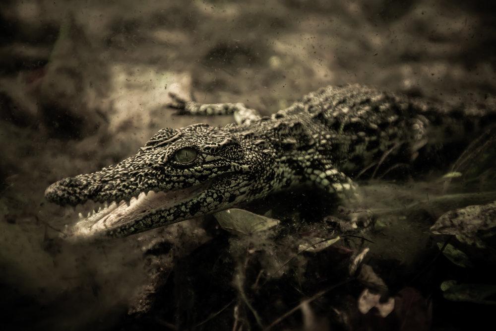 croc-1.jpg