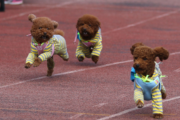 Only one puppy can win this race. You, however, are a winner just by looking at them try.