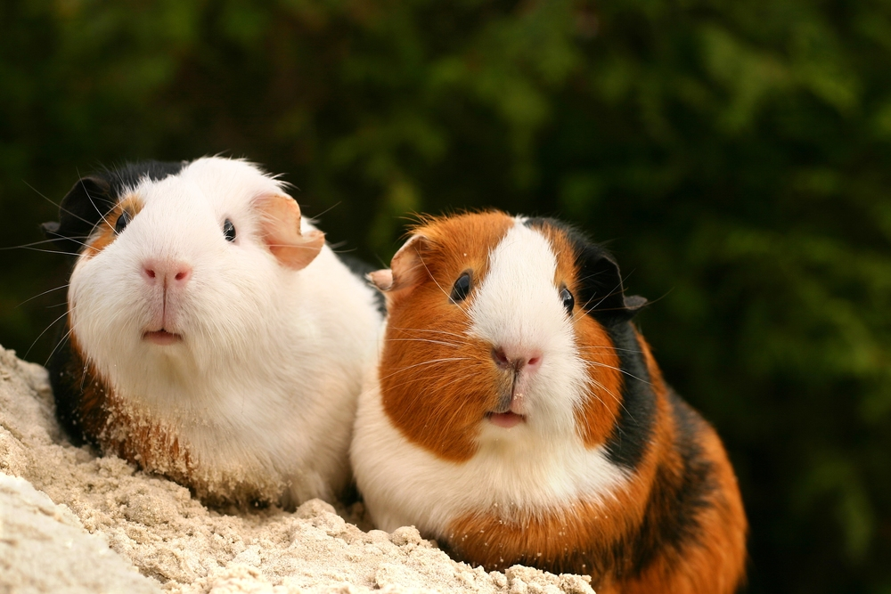 Guinea pigs make great pets for children of all ages. And adults, too!