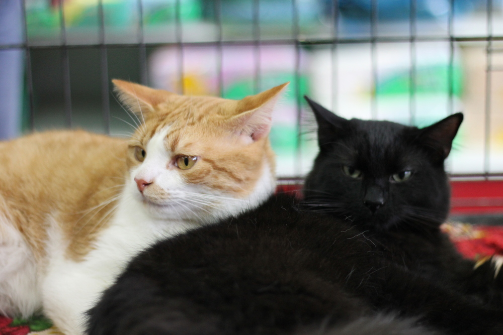 These two 10-month old kittens were held in quarantine due to legal issues with the shelter they were formerly at. They spent almost half their lives and most of their prime adopting age in a cage. They are looking for homes still but are sweet as pie!