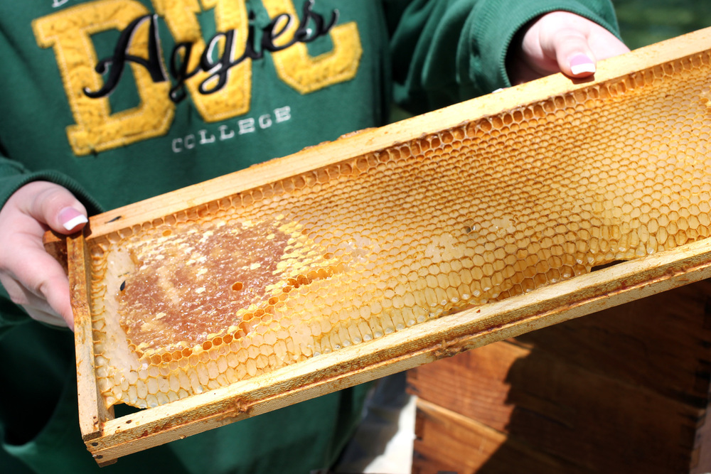 A student member of the Apiary Society shows how honey is produced and then harvested. These are honeycomb cells made by honeybees. They are filled with honey and then harvested from here. The club was also educating visitors on plants that are healthy for bees.