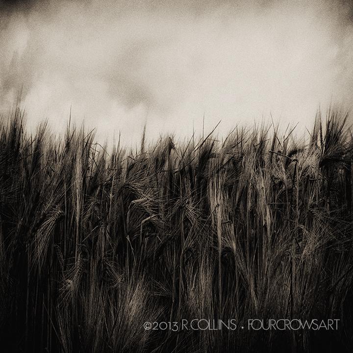 Wheat.jpg
