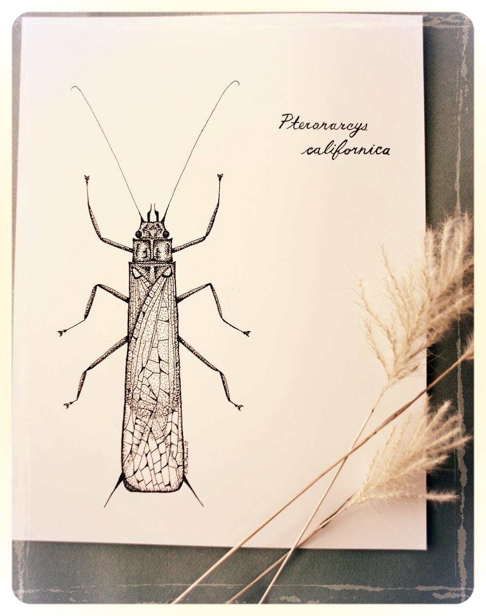 Salmonfly Adult - Pteronarcys californica