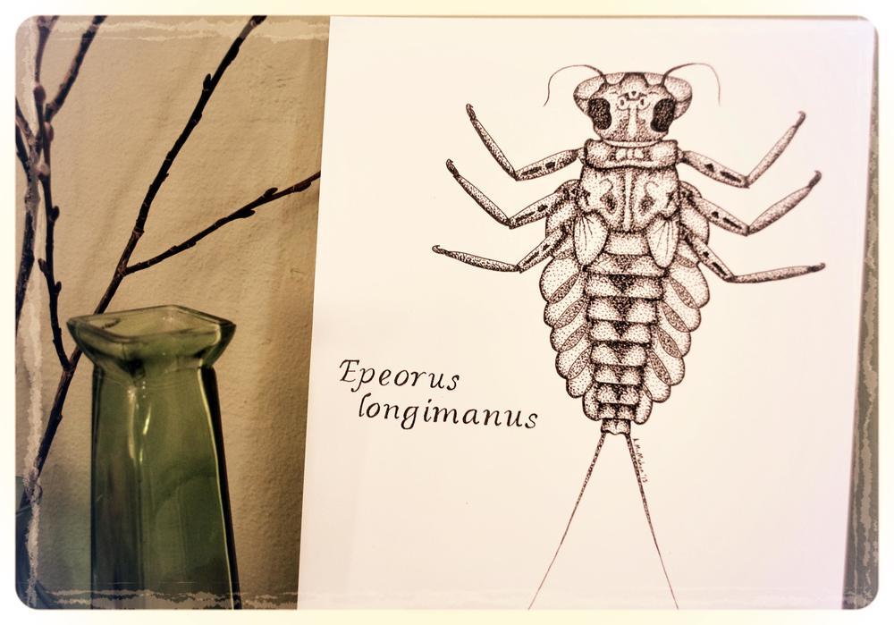 Mayfly - Epeorus longimanus