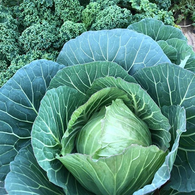 Mon petit chou. #garden #gardening  #atlanta #atl #cabbage #backyardgarden #vegetables #veggies