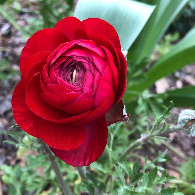 Hello, #ranunculus. I'm so happy you're finally here. #eastatlanta #eav #atlanta #garden #gardening