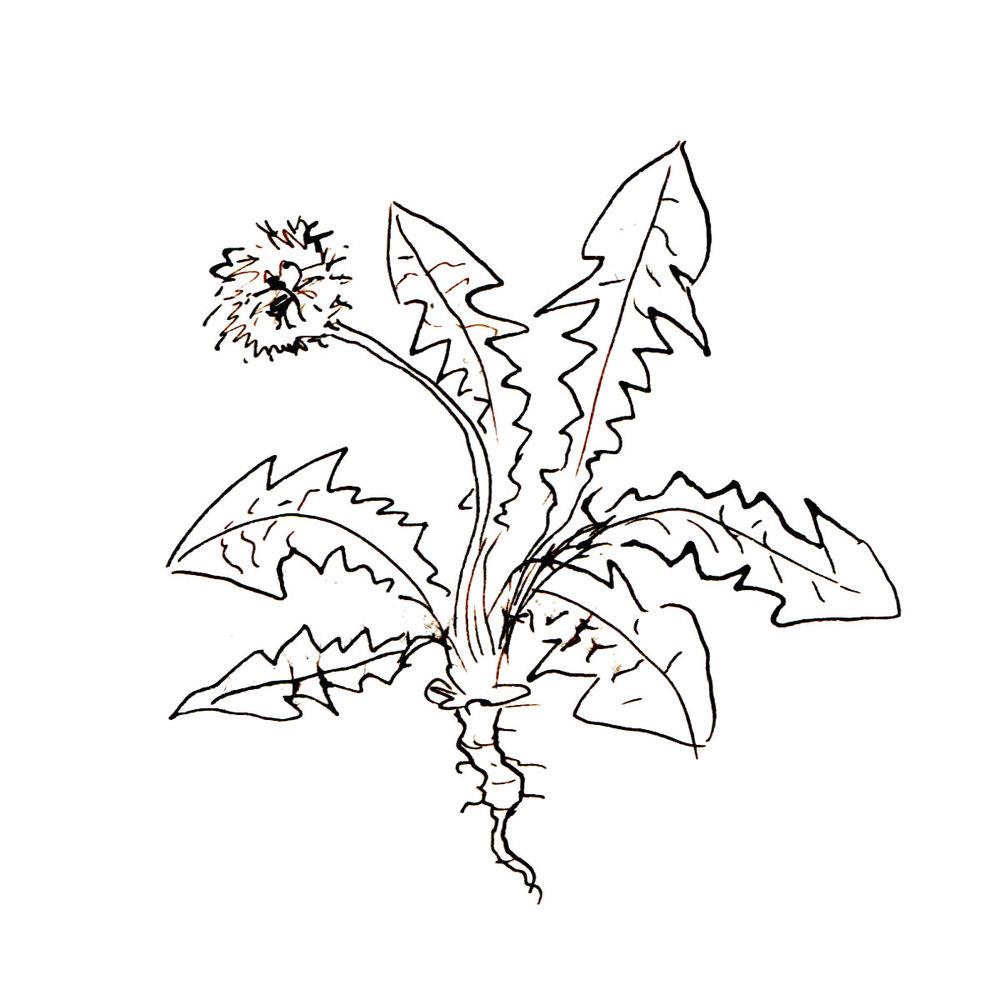 Herboriste-Dandelion.jpg