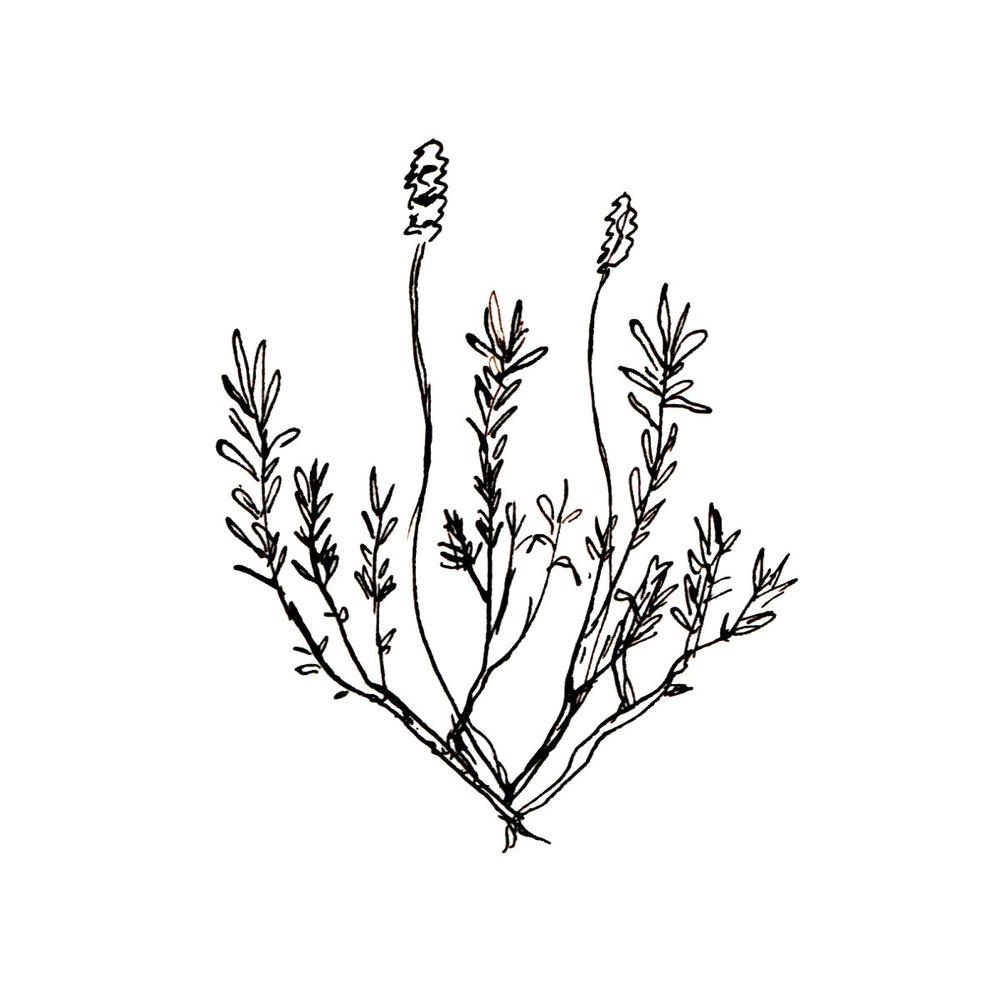 Herboriste-Lavandula.jpg