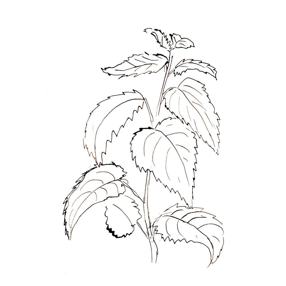 Herboriste-Nettle.jpg