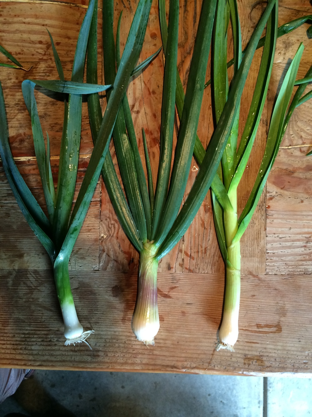 The leek has a deep flat blue/green leaf, the onion has a hint of pink and the green garlic looks similar to the leek but has the pungent bouquet of garlic we all know and love.