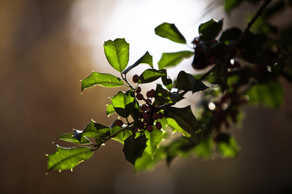 Backlit Holly