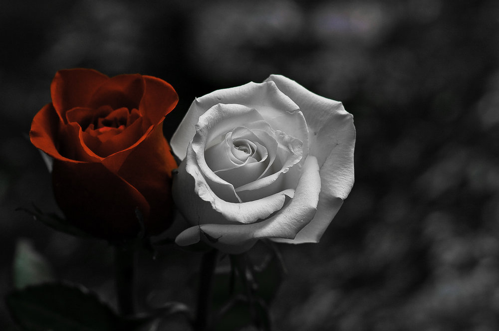 Unity Rose