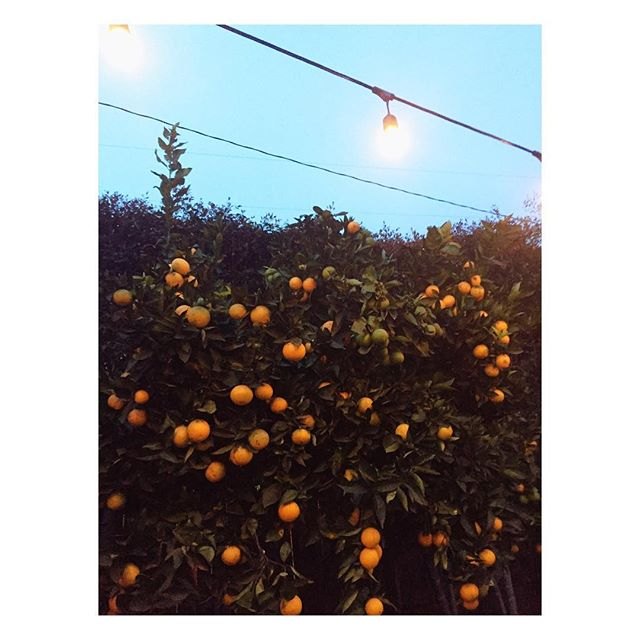 🍊 young evening backyard bliss anyone have any enticing recipes? bonus points for family, fluffy or fabulously tasty ones 🤞🏼 #orangeeverything