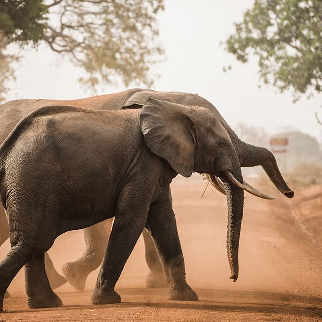 """They told us not to get our hopes up - if you see an elephant, it will probably be hidden behind trees and brush on the side of the road. """"You'd be lucky,"""" they said, """"to see even that."""" . We left that morning at 7 a.m., eyes still burry from sleep, excited and hopeful. Halfway down the road, we hear the dreaded, """"Oh no!"""" and our hearts sink/panic as we realize we've forgotten a really important piece of equipment. . The car turns around and our silence betrays what we are all were thinking - our chances of seeing elephants are slowly decreasing as the morning sun grows older. . We reach the hotel and grab our forgotten equipment, sprinting back into the van. """"Let's go back out again,"""" we say. We know our chances are so slim at this point, but let's try. . About five minutes down the road, our car comes to an abrupt halt as the driver shouts, Look!"""" . One elephant emerges from the brush. His legs are chunky and strong, eyes so sweet. We run out of the car, we are so close to him now. I can see the guard tighten his grip on the tranquilizing gun, should they charge us. We can't move - they are so close and so beautiful. Two, three, four, five elephants emerge from the sides - they are all sizes and ages passing the road in front of us. As we stand on the dusty ground, watching these enormous and beautiful animals parade across the road, we are in awe. One of the baby elephants stops in the middle of the road, picks up some gravel, and throws it in the air - she is showing off for us. . It was one of the most magical moments of our lives. And the best part is - the only reason we saw the elephants was because we made a mistake, and we had to go back. If we hadn't forgotten the equipment, we wouldn't have been on that section of the road at that exact time. We walked away with the overwhelming understanding that sometimes, what looks like a mistake is just God placing you in the exact spot you need to be. . . ."""
