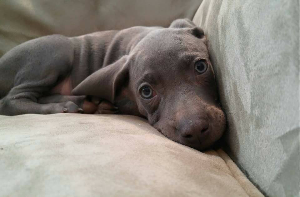 one of the weimaraner puppies which was born here