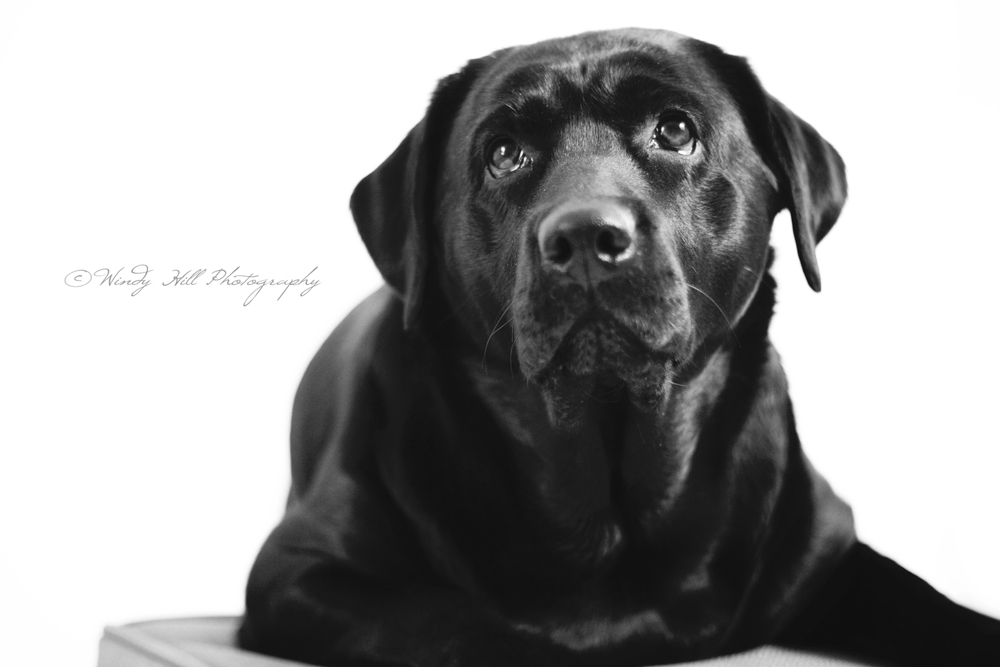 Maine Pet Photographer black lab.jpg