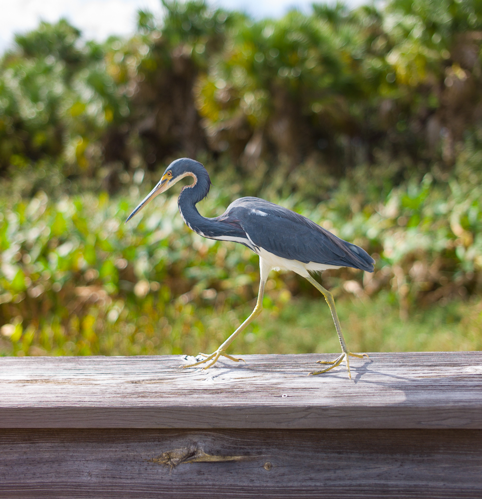 Little Blue Heron- Green Cay.jpg