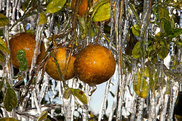 0112-orange-trees-ice-florida_full_600